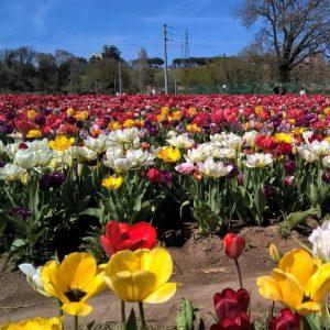 Tulipani-a-Tulipark